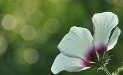 Bokeh (wilma HW61) Tags: bokeh macro depthoffield doff bloem flower flor fleur flora floral floreale hibiscus nederland niederlande netherlands natuur nature natur naturaleza nikond90 holland holanda paysbas paesibassi paísesbajos europa europe été zomer summer sommer outdoor wilmahw61 wilmawesterhoud pov compositie