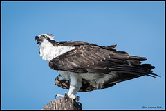 Osprey Calling (Stan in FL) Tags: osprey birds 500 nikon florida central birding nature