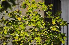 Ein Hauch von Herbst * A touch of autumn * Un toque de otoño *  . DSC_5496-001 (maya.walti HK) Tags: árboles 150918 2018 20180906 bäume barcelona blätter copyrightbymayahk flickr grün green hojas leaves licht light luz nikond3000 reisebarcelona2018 trees verde