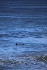 IMG_3636 (gervo1865_2 - LJ Gervasoni) Tags: surfing with whales lady bay warrnambool victoria 2017 ocean sea water waves coast coastal marine wildlife sealife blue photographerljgervasoni