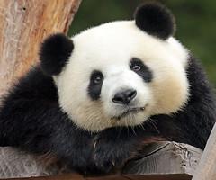 giant panda Berlin Zoo JN6A7270 (j.a.kok) Tags: panda giantpanda grotepanda bamboebeer bamboobear bear beer animal azie asia china mammal zoogdier dier berlijn berlinzoo berlijnzoo