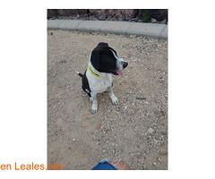 DRACO,BUSCA UN HOGAR! (Leales.org • tu guía animable) Tags: adopta adoptar adoptanocompres noalmaltratoanimal adopción sebusca extraviado perdido perro gatos lealesorg