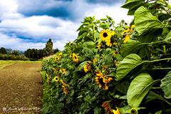 Row of Sunshine (jenelle.melchior) Tags: sky cloud flower sunflower green blue nature garden farm plant field