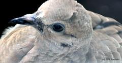 DSC_0075 (RachidH) Tags: birds oiseaux dove touterelles pigeons mourningdove zenaidamacroura tourterelletriste northbeach sanfran sanfrancisco sf ca california rachidh nature telegraphhill