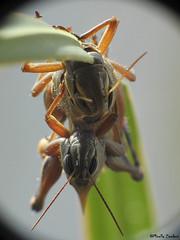 Mating grashoppers (Geminiature Nature+Landscape Photography Mallorca) Tags: grashoppers sprinkhanen paring paren mating apareamiento raynox dcr 250 mallorca saltamontes