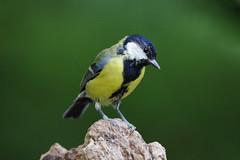 K32P3756c Great Tit, Lackford Lakes, September 2018 (bobchappell55) Tags: lackfordlakes wild wildlife nature suffolk bird greattit parusmajor