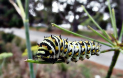 Roadside diner (TJ Gehling) Tags: insect lepidoptera butterfly caterpillar papilionidae swallowtail swallowtailbutterfly aniseswallowtail papilio papiliozelicaon plant flower apiales apiaceae fennel foeniculum pointmolate richmondca