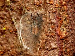 Something's not right (treegrow) Tags: newzealand nature lifeonearth raynoxdcr250 arthropoda moana lakebrunner arachnida araneae salticidae