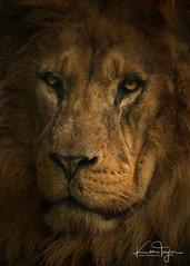 Jaziri (yadrad) Tags: lion pantheraleo leo africanlion bigcats cats carnivore ngc zoo dartmoorzoo sparkwell dartmoorzoologicalpark