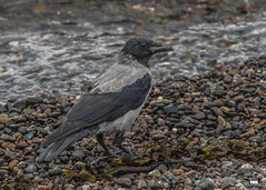 Who needs a face wipe? (davidrhall1234) Tags: hoodedcrowcorvuscornixalsocalledhoodie hoodedcrow hoodedcrowcorvuscornix corvid crow scotland oban birds bird birdsofbritain beak coastal countryside harbour feather nature nikon outdoors shore shoreline sea wildlife world coth coth5