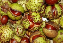 Horse chestnuts . conkers (5) (Simon Dell Photography) Tags: horse chestnuts conkers autumn fall winter display scene colors nuts seeds lots