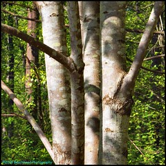 Forest Four Basking (Beachhead Photography) Tags: beachheadphotography trees tree forest 4 four nature sunlight outdoors leaves green trunks branches branch