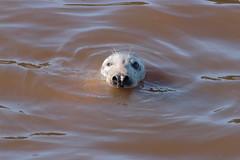 Seal (GordyBUK) Tags: spittal berwickupontweed rivertweed wildlife sealife nature september2018 september northumberland seal greyseal naturalworld