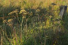 Münster Rieselfelder 17082018 001 (Dirk Buse) Tags: münster nordrheinwestfalen deutschland deu natur germany nature outdoor licht sunset nrw mft m43 mu43 rieselfelder flora