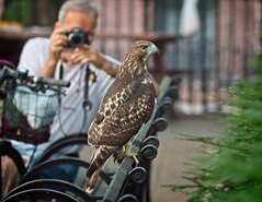 Tompkins Square red-tail fledgling (Goggla) Tags: fledgling a2 jerry nyc new york east village tompkins square park urban wildlife bird raptor red tail hawk 2 bench