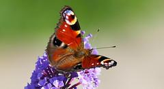 schmetterling-1-Rafz-20082018-16'40 (eduard43) Tags: schmetterling butterfly tagpfauenauge nymphalis edelfalter 2018