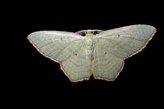 Green Moths of Panama (Over 4 million views!) Tags: idme moth panama green
