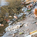 Mudskippers at Grand Bassam