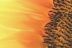 Summer's Beauty (DarrenCowley) Tags: macromondays beauty stilllife flower petals sunflower highkey closeup orange yellow summer darrencowley
