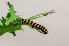 Cinnabar Moth Caterpillar (Simon Stobart - Back But Way Behind) Tags: cinnabar moth caterpillar tyria jacobaeae northeast england uk