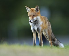 Urban Fox (karlpriceps3) Tags: red fox mammal canine wild urban vulpes dog