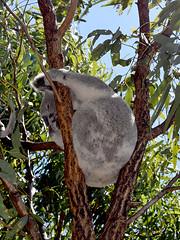 DSC_0723b (LisaLawlor7) Tags: forts magnetic island townsville koala scenic bush ocean waves beach