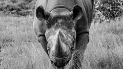 Charge (scott a p) Tags: animals rhino xt20 yorkshirewildlifepark fujifilm