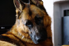 Pimmie (Marja S) Tags: germanshepherd shepherd duitseherder