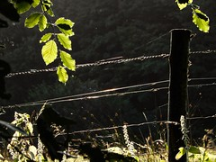 Last fence of summer (violetchicken977) Tags: fencefriday barbedwire beech