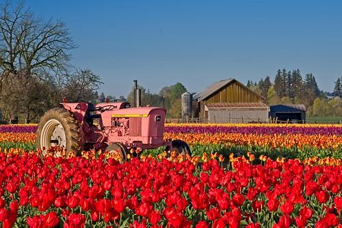 Tractor in Tulip Field 7104 B