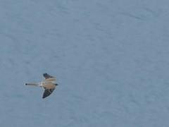 Kestrel (chdphd) Tags: stonehaven aberdeenshire kincardineshire falcotinnunculus falco falcon