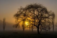 Sunrise (Kiwi-Steve) Tags: newzealand northisland waikato fog foggy rural tree sunrise nikond7200 nikon silhouette