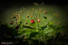 Erdbeeren / Strawberries (peterkaroblis) Tags: erdbeere strawberry