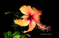 Hibisco/Hbiscus (Altagracia Aristy Sánchez) Tags: hibisco hibiscus cayena laromana repúblicadominicana dominicanrepublic caribe caribbean caraibbi antillas antilles trópico trópic américa altagraciaaristy fujifilmfinepixhs10 fujifinepixhs10fujihs10 fondonegro sfondonero blackbackground quisqueya