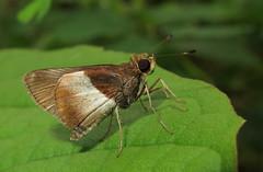 Remella rita? (Over 4 million views!) Tags: butterfly hesperiidae panama remellarita skipper insect butterflies