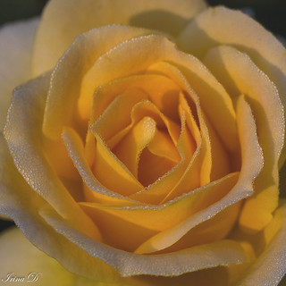 An autumn rose for Tuesday