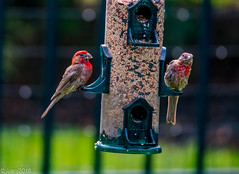Robins Eating (JuanJ) Tags: nikon d850 lightroom art bokeh nature lens light landscape happy naturephotography outside people white green red black pink skyportrait location architecture building city square squareformat instagramapp shot awesome supershot beauty cute new flickr amazing photo photograph fav favorite favs picture me explore interestingness friends birds feeder food ky georgetown kentucky 2018 august usa america robin animal tamron