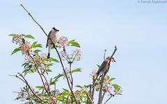 Red-backed shrike couple (Dreemeli) Tags: laniuscollurio redbackedshrike bird linnut luonto nature pikkulepinkäinen