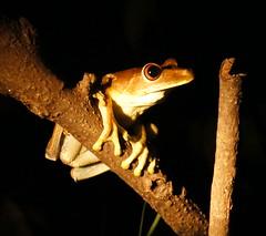 Tree Frog (tim ellis) Tags: holiday amazon iracema rionegro animal amphibian frog treefrog manaus brazil