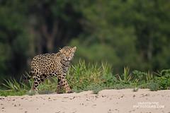 Jaguar and its kingdom (www.NeotropicPhotoTours.com) Tags: jaguar panteraonca brazil jewelsofpantanal neotropicphototours juancarlosvindas mammalphotography lookingatcamera wildlife juancarlosvindasphotography