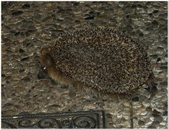 Waited right at the kitchen's threshold (MaxUndFriedel) Tags: nature garden night animal hedgehog waiting hungry
