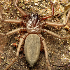 Flattened Bark Spider (treegrow) Tags: newzealand moana lakebrunner nature lifeonearth raynoxdcr250 arthropoda arachnida araneae spider gnaphosidae hemicloearogenhoferi taxonomy:binomial=hemicloearogenhoferi