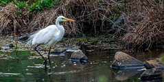 On the lookout for Breakfast (Explore) (TOXTETH L8) Tags: herveybay bird egret creek fishing
