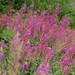 Rosebay willowherb (Chamerion angustifolium) - Woodbury Common, Devon - 24 July 2018