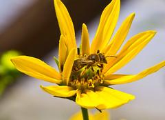 Sonnig / Sunny (schreibtnix on 'n off) Tags: deutschland germany bergischgladbach natur nature tiere animals insekten insects biene bees honigbiene honeybee pflanzen plants blumen flowers blüte blossom gelb yellow nahaufnahme closeup sonnig sunny olympuse5 schreibtnix