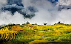 Terraced rice fields in Y Ty, LaoCai Province, VietNam (:: Focus Studio ::) Tags: earth curve paddy chai nature transplant culture cang vietnamese reflection asian travel terrace buffalo ecology land agriculture farm burma farming ground colorful vietnam grows terraced field malaysia landscape water environment farmer horticulture rough plant indochina mountain soil green plow rice myanmar valley mu yty sapa asia