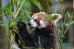 rasberry blowing (Paul Wrights Reserved) Tags: redpanda panda bear bears tongue cute eating face ears eye framed