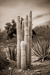 Cactus in the Arizona Desert (davebentleyphotography) Tags: botanicalgarden davebentleyphotography desertbotanicalgarden 2017 arizona canon catus desert travel