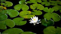 Lone lotus blossom. (kuntheaprum) Tags: paddleboarding photography stearnspond lotus flower mushroom nixy nikon d80 50mm f18
