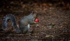 Strawberry Delight. (Explored 26.8.18.) (pitkin9) Tags: animal greysquirrel sciuruscarolinensis fruit strawberry woodland nature wildlife